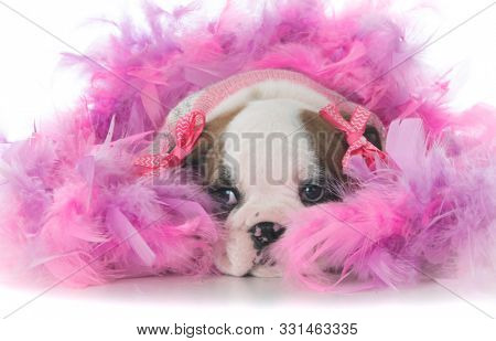 female bulldog puppy surrounded by pick feathers isolated on white background
