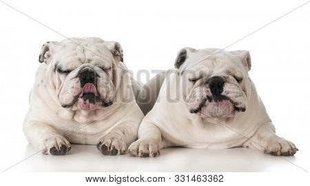 two white male English bulldog adult dogs with funny expressions laying down on white background