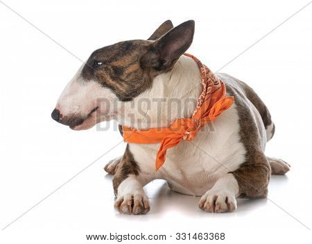 young female miniature bull terrier puppy wearing an orange bandana laying down isolated on white background