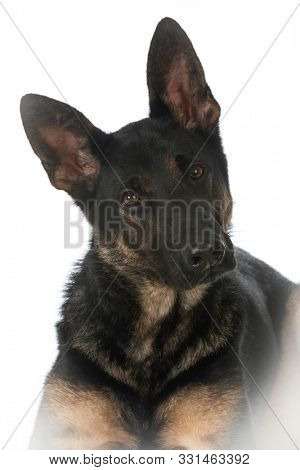 German shepherd puppy laying down looking at viewer isolated on white background