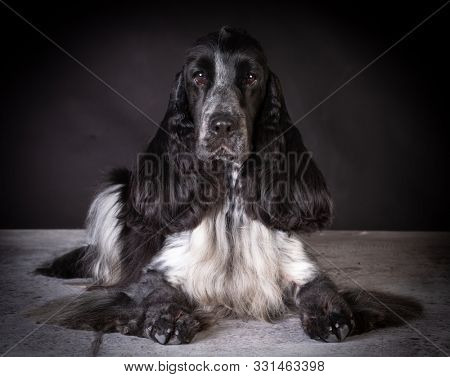 beautiful champion male English cocker spaniel on black background
