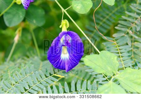 Clitoria Ternatea Flower Growing Wild In Phuket, Thailand
