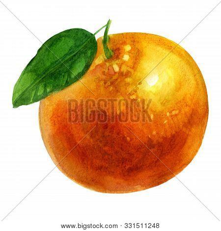 Watercolor Illustration. Mandarin. Mandarin Fruit Mandarin Leaf