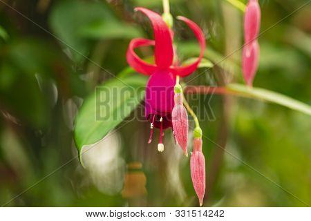 Fuchsia Flower.pink Fuchsia Alisson Bel Flowers Growing On Bush In Garden.beautiful Fuchsia