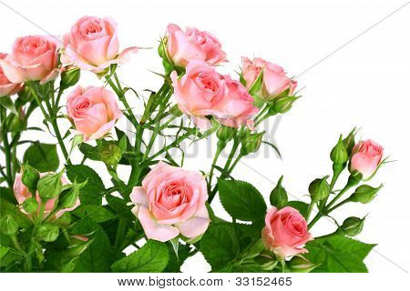 Bush Of Pink Roses With Green Leafes