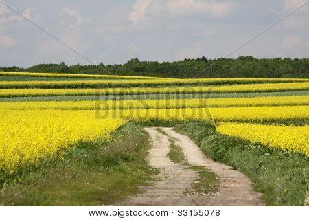 Road between rapes field