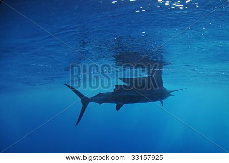 Sailfish Fish Swimming In Ocean