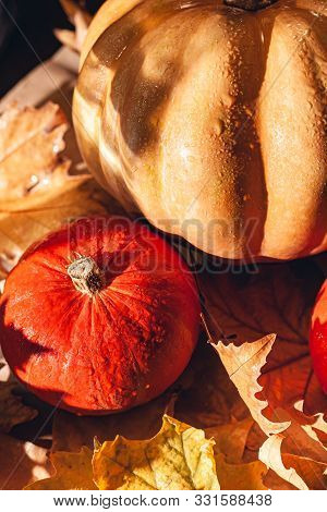 Banner Of Thanksgiving Pumpkins On Autumn Dry Foliage. Stock Photo Of A Solar Pumpkin - Harvest / Th