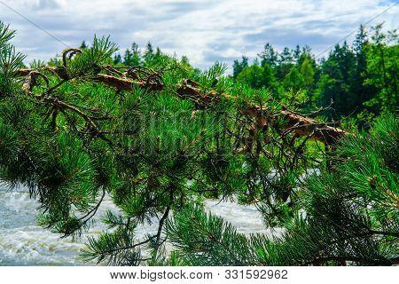 Finland, Kotka: Pine Branch Over Troubled Langinkoski Rapid On The Kumi River In Kotka With Bridge O