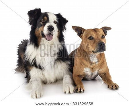 Australian Shepherd And Staffie In Front Of White Background