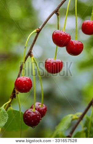 Ripe Bright Red Cherries Surrounded By Green Leaves And Covered By Water Drops. Fresh Fruits Are Gro