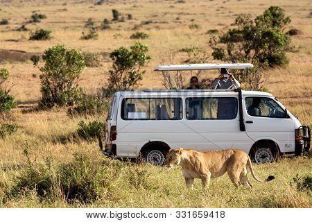 Lioness With Safari Car In The Masai Mara National Park, Kenya. Animal Wildlife. Safari Concept. Vac