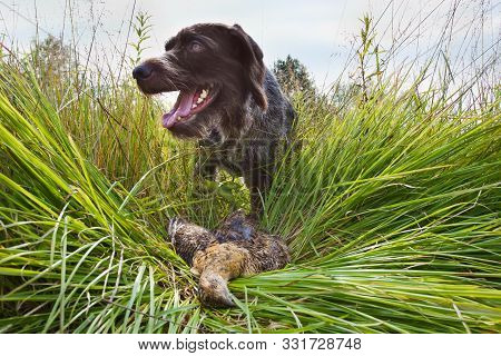 Gundog - German Wirehaired Pointer Finds In The Grass Downed Wildfowl (hen Blackcock) During Hunting