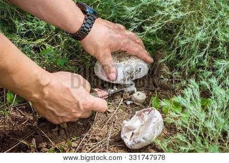 Mushroom Picker Collects Mushrooms. Close Up. Edible Mushroom