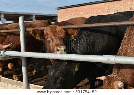 Limousine Bulls On A Farm. Limousine Bulls Spend Time On The Farm. Bulls Eat And Stand In The Pen. A