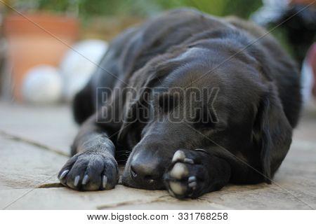 Black Labrador, Collie Sleeping In Garden Resting On Paws