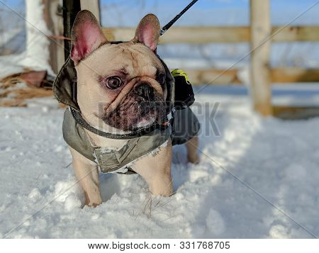 French Bulldog Dog In Deep Snow With Coat On