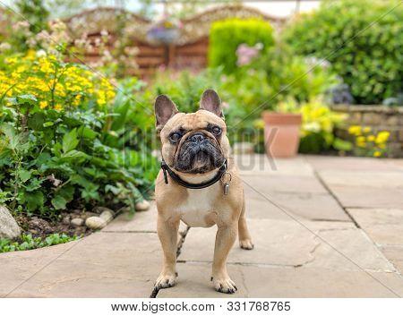 French Bulldog Dog On Garden Patio In Summer Garden