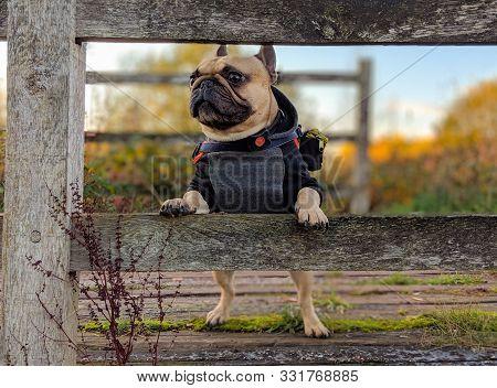 French Bulldog Dog With Coat On Stood Up On Fence
