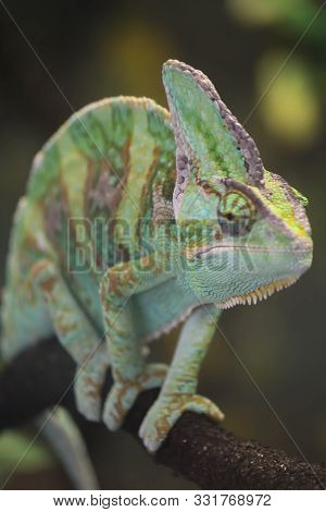 Close Up Of Chameleon Face As He Climbs A Branch
