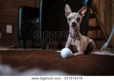 Beautiful Russian Toy Terrier Dog With Pink Collar, Quietly Resting On The Mat After The Game With A