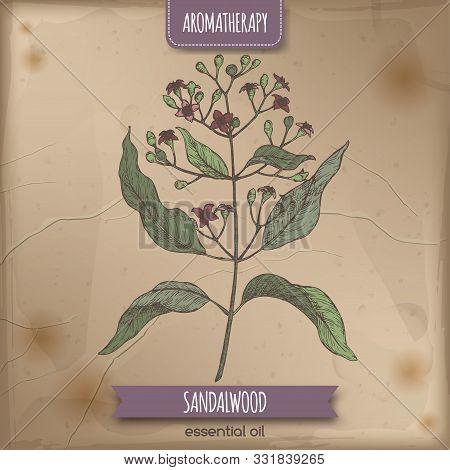 Indian Sandalwood Aka Santalum Album Color Sketch On Vintage Background.