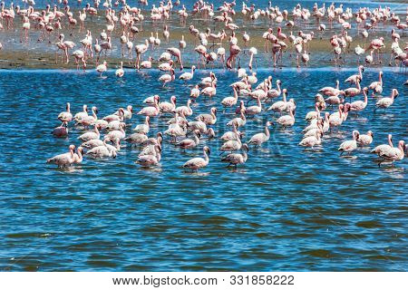 Ecological, active and photo tourism concept. Birds feed in the shallow water of the Swakopmund. Interesting and useful birdwatching. Namibia. Africa. Huge colony of pink flamingos