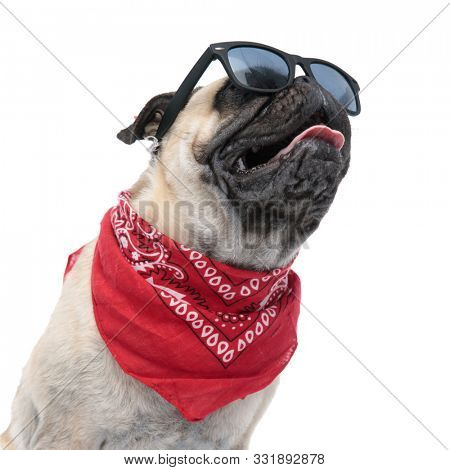 cool pug wearing sunglasses and bandana, panting and sticking out tongue, sitting isolated on white background, portrait