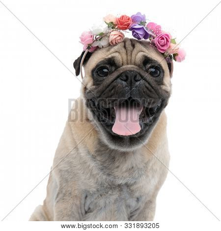 happy pug wearing flowers headband and panting, sticking out tongue and sitting isolated on white background, portrait