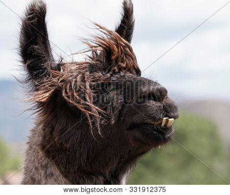 Close Up Of A Male Llamas Head With Protruding Teeth, And Hair Blowing In The Wind.