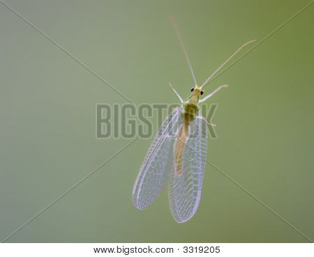 Glass Winged Insect