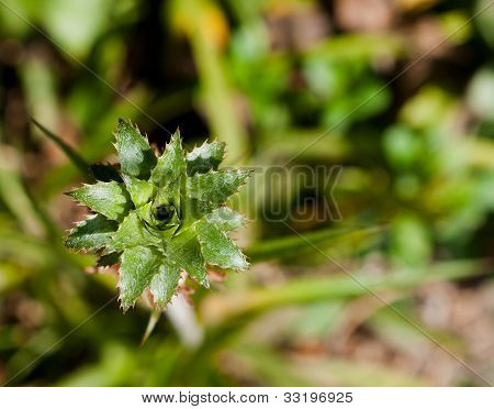 Young Pineapple Tree With Small Cloesup