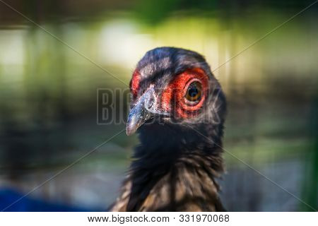 Female Edwards's Peasant Face In Closeup, Tropical Bird From Vietnam, Critically Endangered Animal S
