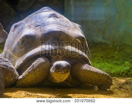Aldabra Giant Tortoise Portrait, Worlds Largest Turtle Specie From Madagascar, Vulnerable Animal Spe