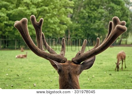 Gorgeous Deer Close Up. Deer In Natural Environment Nature Background. Animal Rights. Deer In Zoo. Y