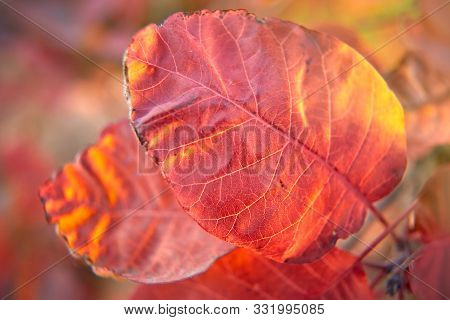 Close Up Of Beautiful Red Autumn Leaves