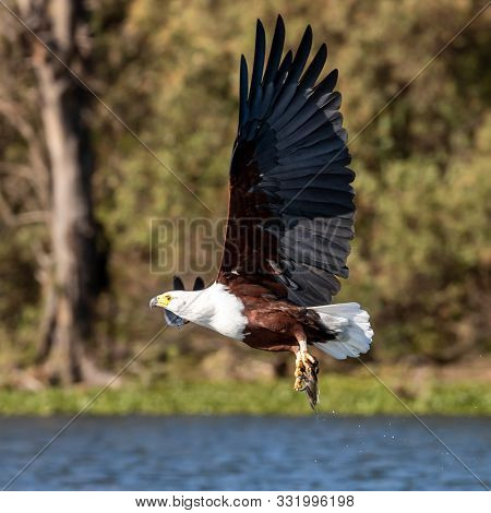 Fish eagle, Haliaeetus vocifer, catching a fish from the surface of Lake Naivasha, Kenya. These skilled predators will snatch fish from the water with their strong and sharp talons.