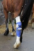 Bay mare standing with hind leg in bandage after surgery poster