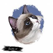 Snowshoe cat breed of cat originating in United States. Digital art illustration of pussy kitten portrait, feline food cover design, veterinary vet clinic label. Fluffy domestic pet, t-shirt print. poster