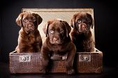 three cute chocolate puppies of Labrador Retriever amicably sitting in brown vintage leather suitcase on black background poster