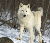 This is the alpha female on a wolf pack in Northern Minnesota poster