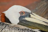 Brown Pelicans of Florida are not afraid urban areas and large numbers of them collect near piers and tourist sites hoping for a handout. poster