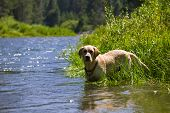 Hunting Dog Labrador Retriever in a river with pine trees in the background poster
