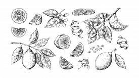Hand Drawn Lemon. Vintage Lime Orange Or Lemon Fruits Blossom And Branches For Juice Label. Vector B