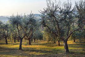 Olive Trees Garden. Mediterranean Olive Field Ready For Harvest. Italian Olive's Grove With Ripe Fre