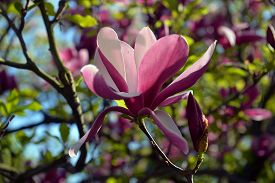Blossoming Magnolia Against A Greens In Early Spring