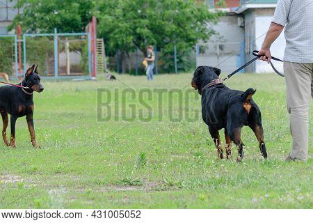 Meeting Of Two Black Pets In Dog Park. Adult Rottweiler In Front Of Doberman On Leash. Getting To Kn