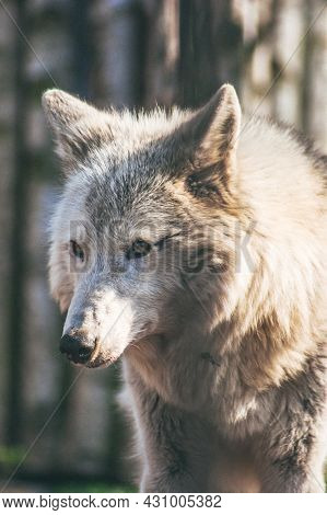Portrait Of A Large Tundra Wolf With Light Hair.