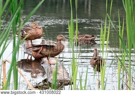 Wild Mallard Ducks Sit In A Pond On A Log Floating In The Water Among The Reeds