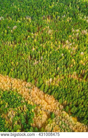 Spring Season. Aerial View Of Deciduous Trees Without Foliage Leaves And Green Pine Forest In Landsc